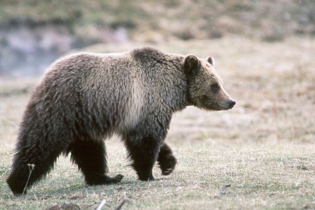 800px-Grizzly_bear_glacier_national_park_3