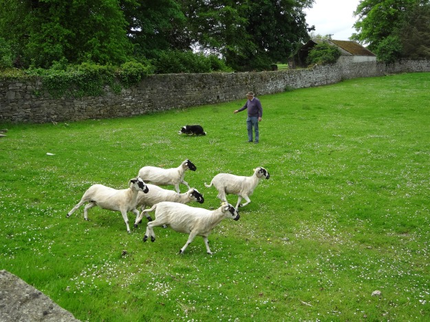 In Ireland Farmer Joel's sheepdog skillfully herds the sheep.
